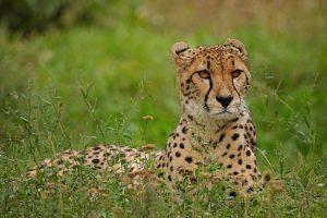 cheetah-3056387_640